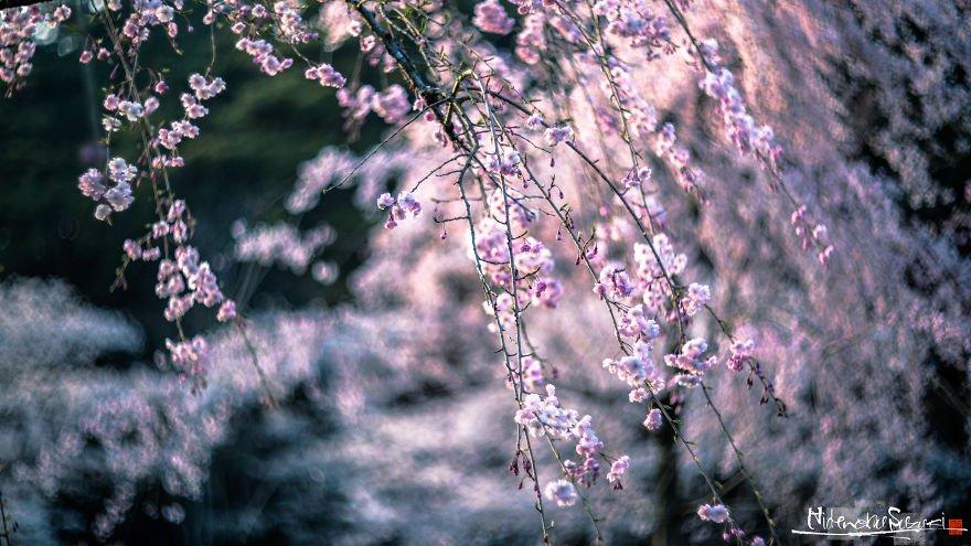 Сезон цветения сакуры в Японии от Хиденобу Судзуки