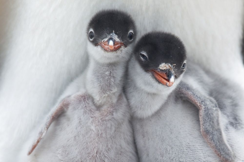 Эти милые и удивительные пингвины