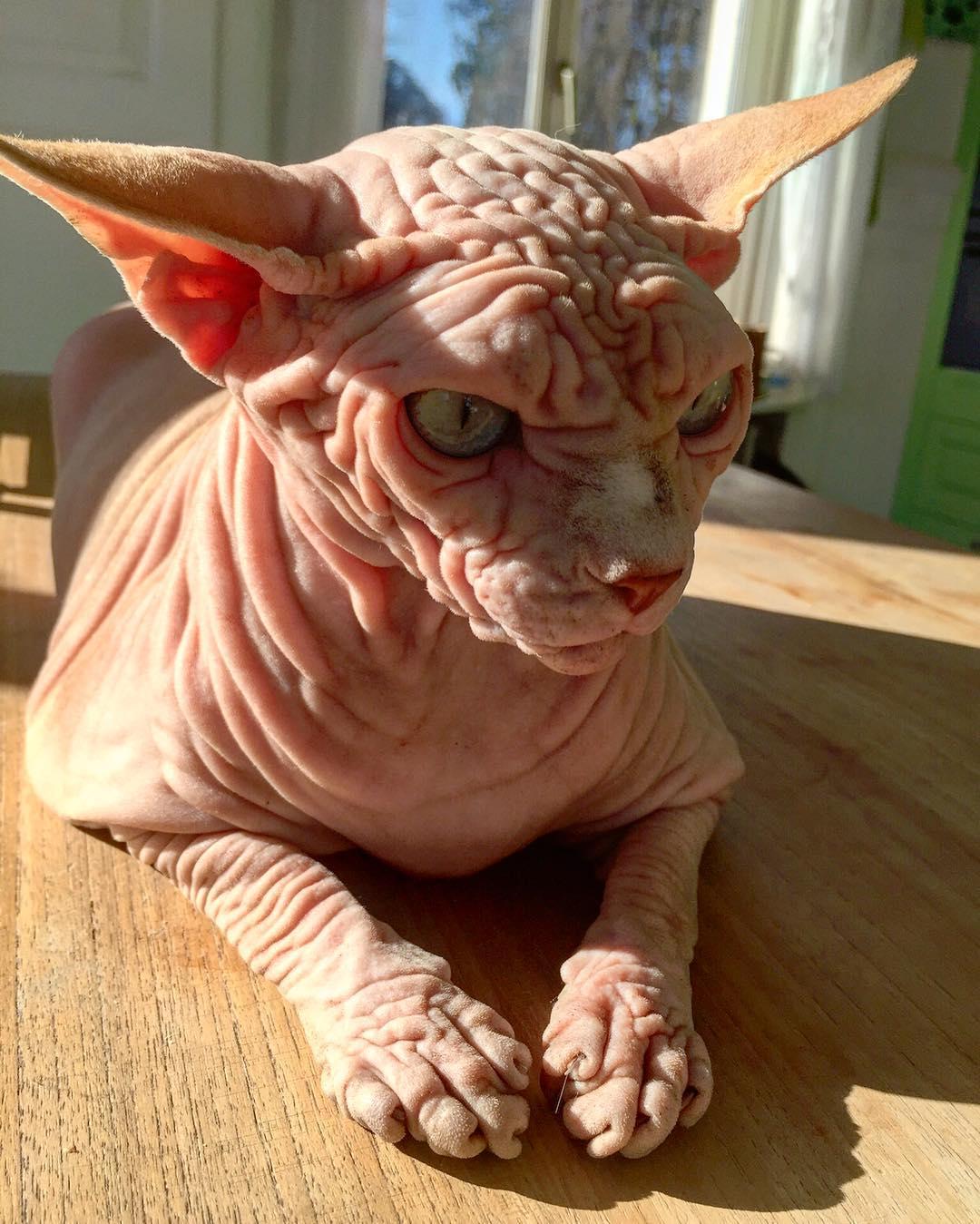 Лысый кот с суровым взглядом популярен в Instagram