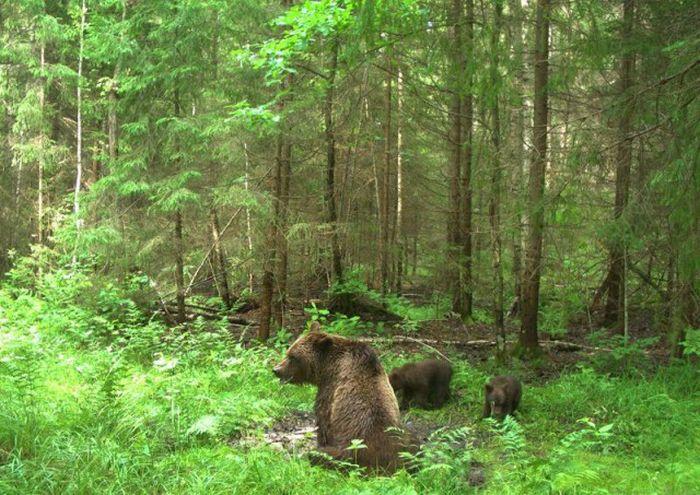 Снимки лесных жителей, сделанные на фотоловушки