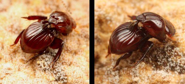 Eocorythoderus incredibilis - жук, которого носят термиты