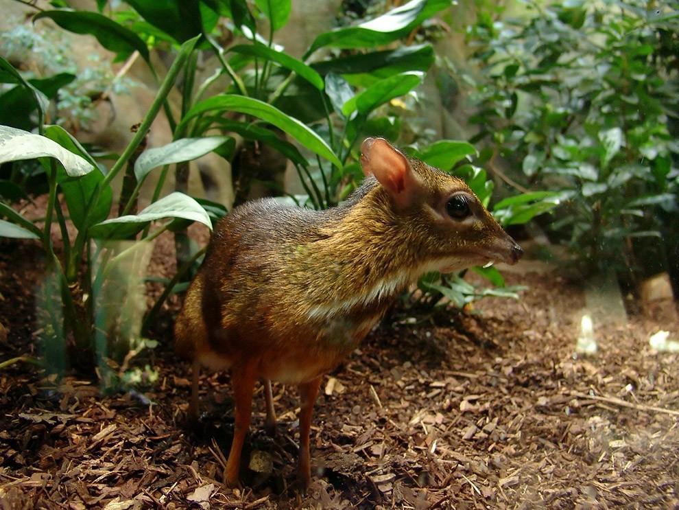 Канчиль — олень-малютка из тропических лесов
