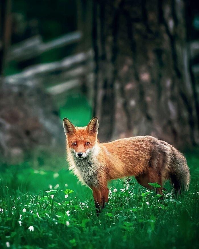 Дикие лисицы на снимках от Осси Сааринена