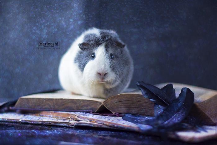 Невероятно фотогеничная морская свинка