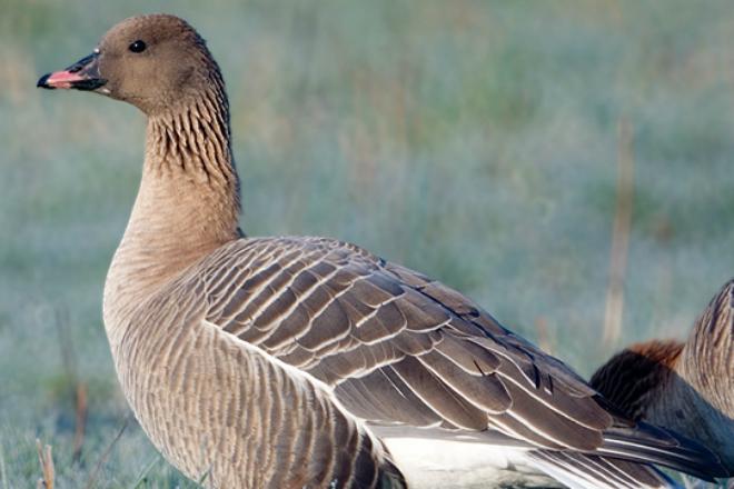 Птицы, которые опасны для военных самолетов