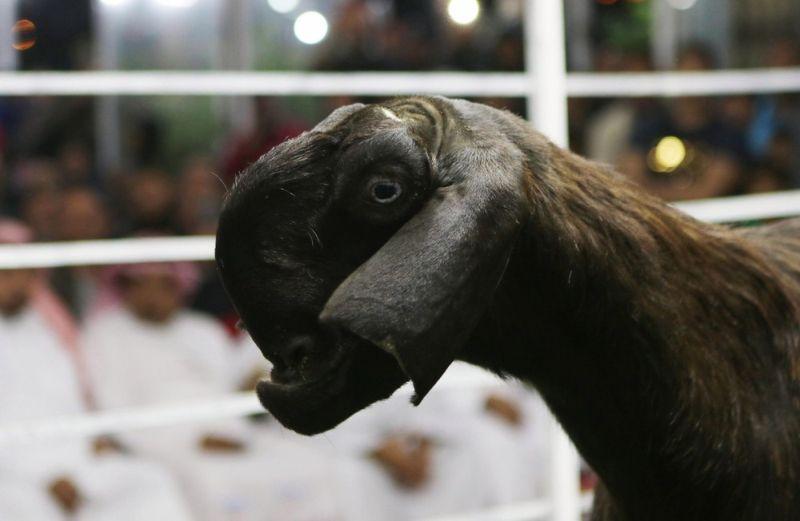 На аукционе горбоносых козлов в Иордании