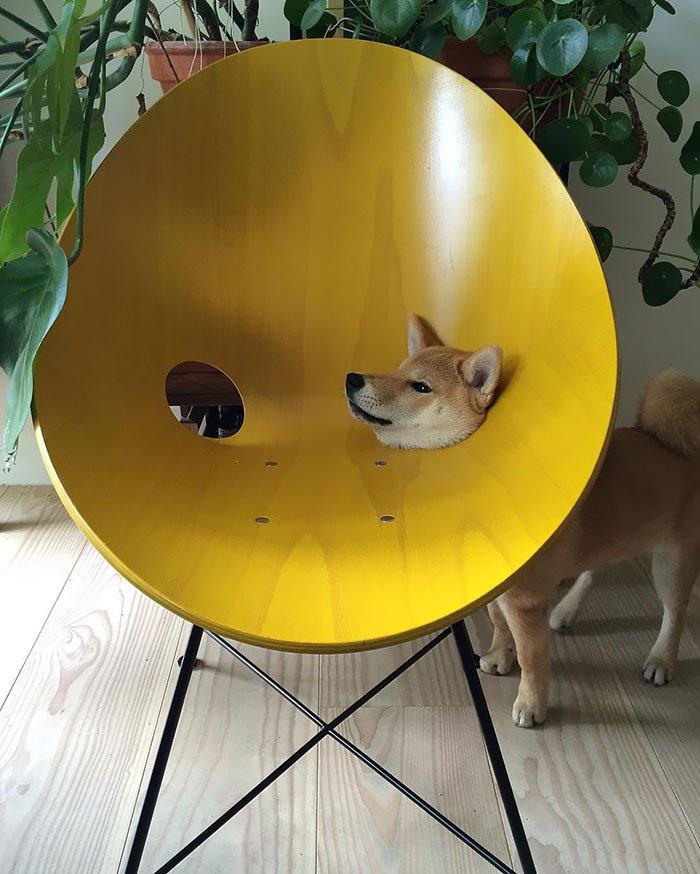 Забавные собаки породы сиба-ину