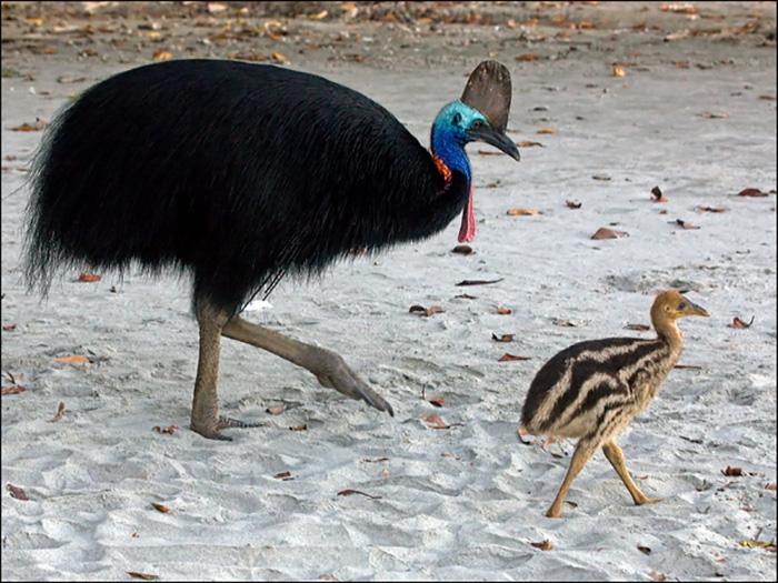 Южный казуар: красивый и опасный