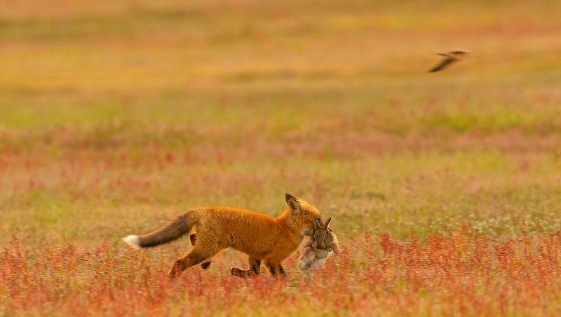 Битва орлана и лисы в воздухе за добычу
