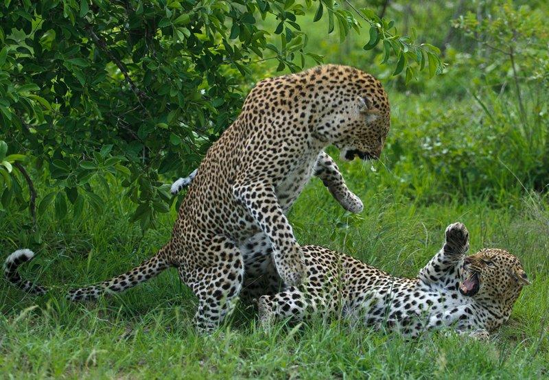 Жизнь грациозных леопардов на фото