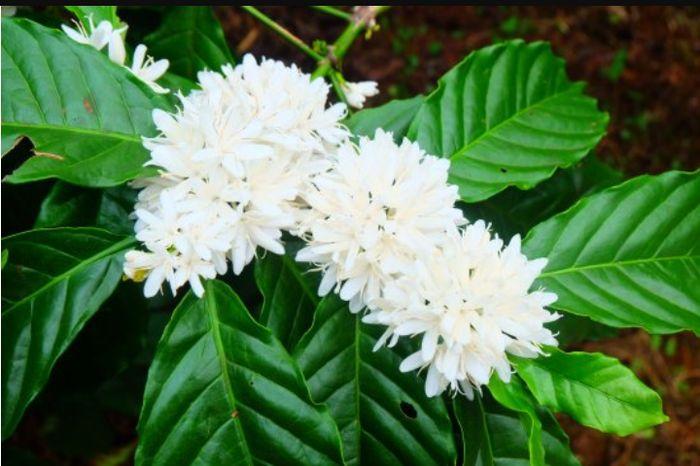 Как цветет кофейное дерево