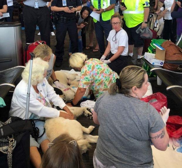 Собака-поводырь родила 8 щенков в аэропорту
