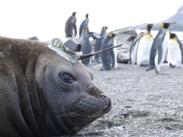Тюлени и морские слоны добывают ученым информацию