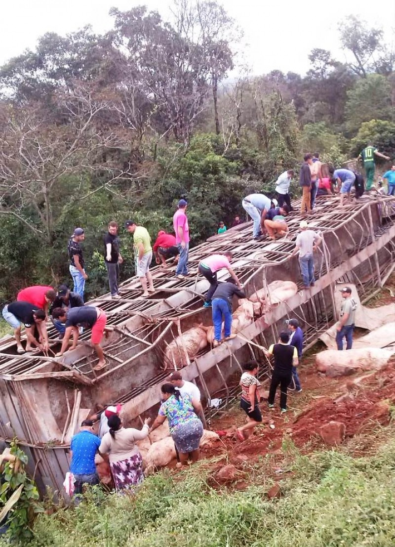 Грузовик со 120 свиньями перевернулся в Бразилии