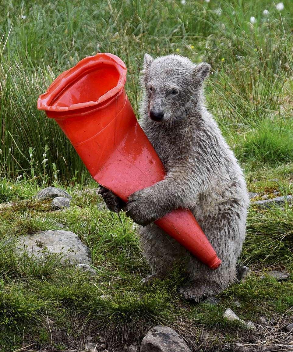 Как белый медвежонок застрял в дорожном конусе