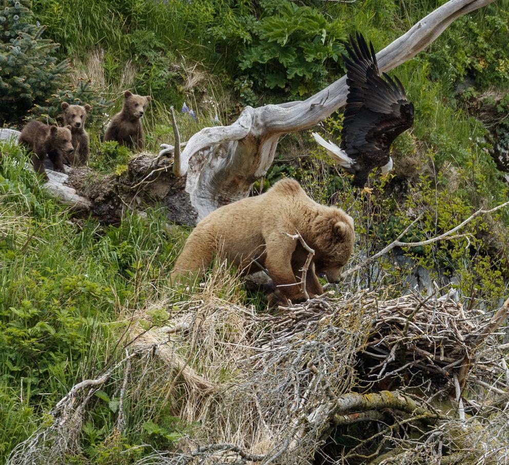 Медведица с медвежатами напали на орлиное гнездо