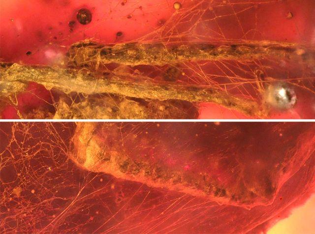 В янтаре обнаружили клеща, жившего около 99 миллионов лет назад