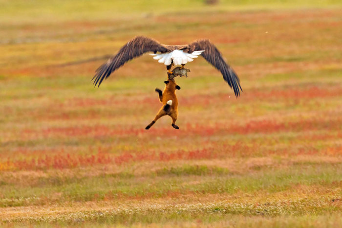 Орел и лиса не смогли поделить добычу