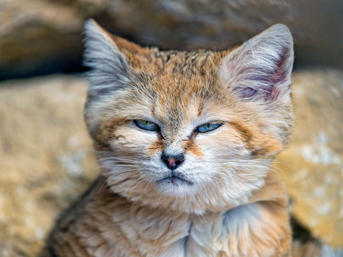 Кот, который всегда похож на котенка