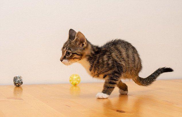 Котята родились без задних лап и отлично бегают на передних