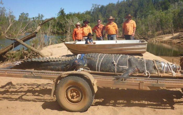 В Австралии был пойман 600-килограммовый крокодил