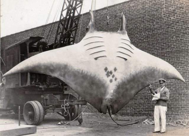 Великий скат, которого поймал капитан Кан в 1933 году