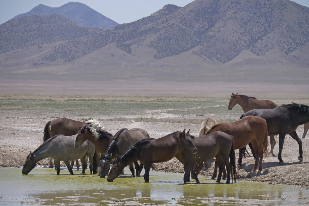 Дикие лошади страдают от засухи