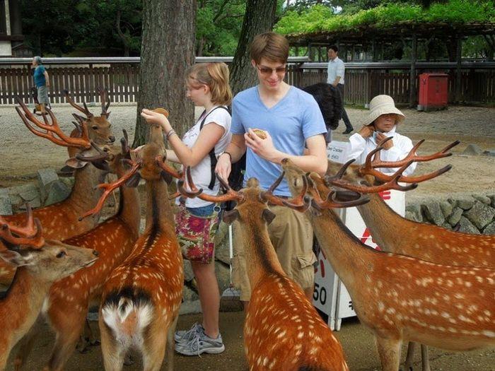 Японский город Нара, по которому гуляют сотни оленей