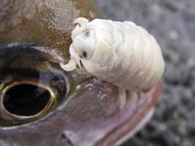 10 самых изобретательных паразитов в природе