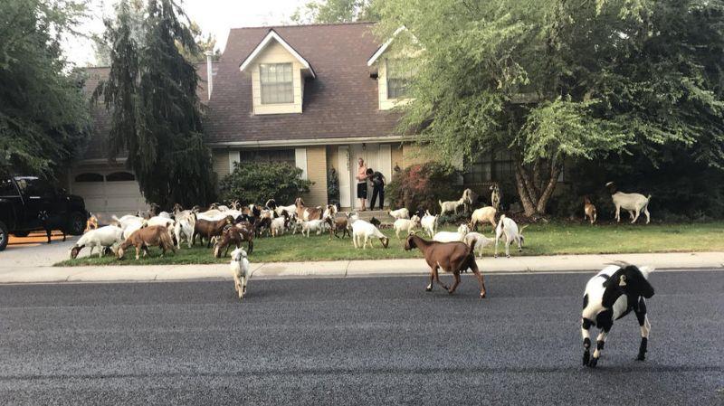 Удравшие с поля 118 коз объели спальный район