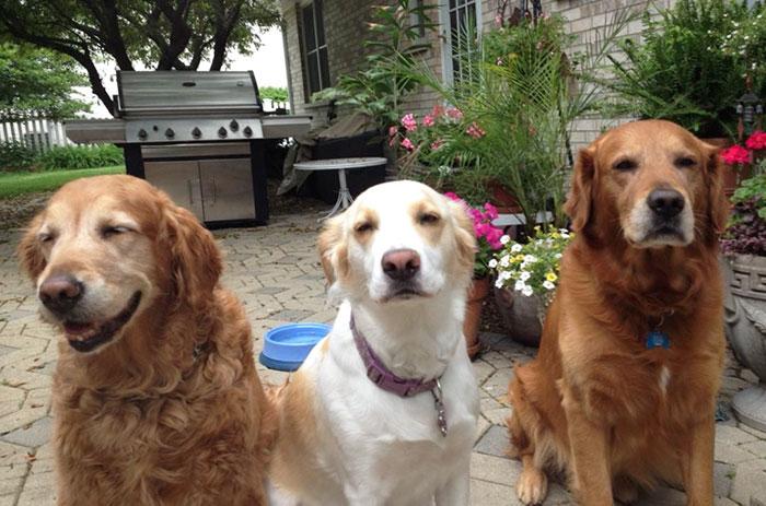 На что похожа жизнь, когда в доме больше двух собак