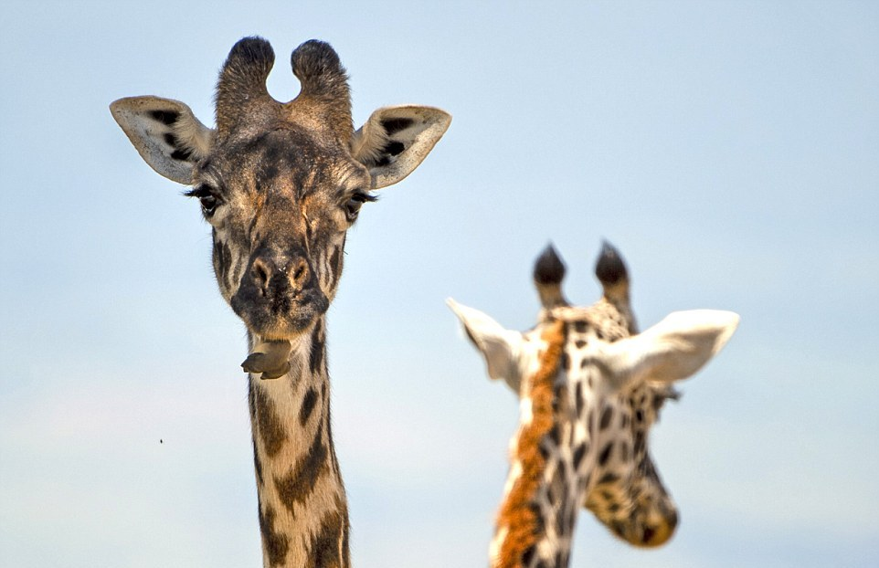 Кто помогает жирафам чистить зубы