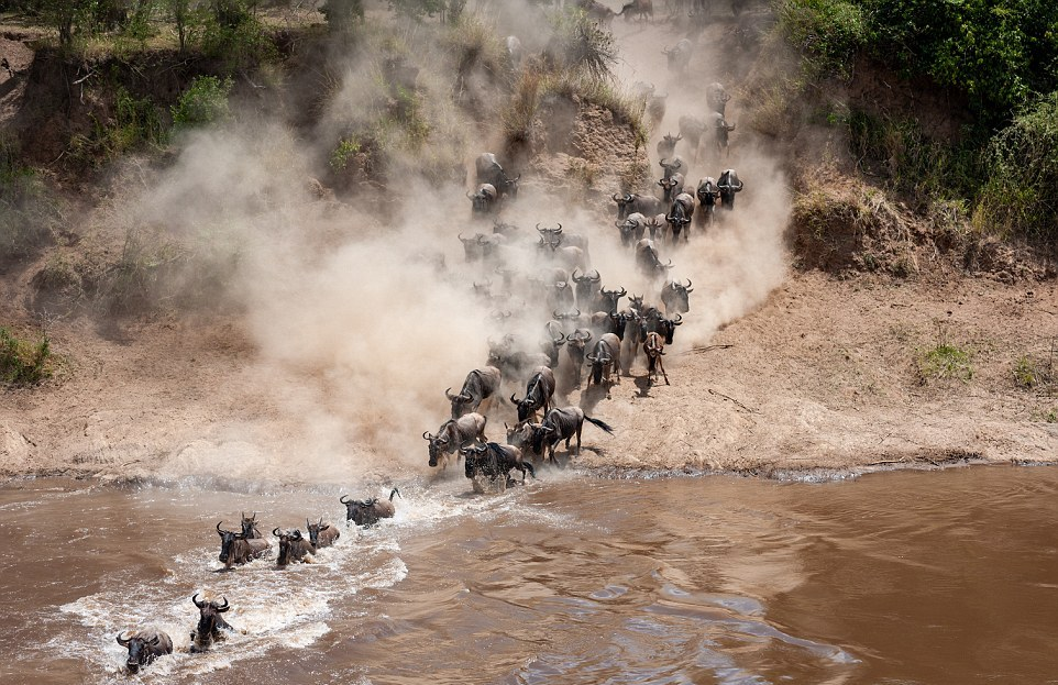 Тысячи антилоп гну переправляются через реку, кишащую голодными крокодилами