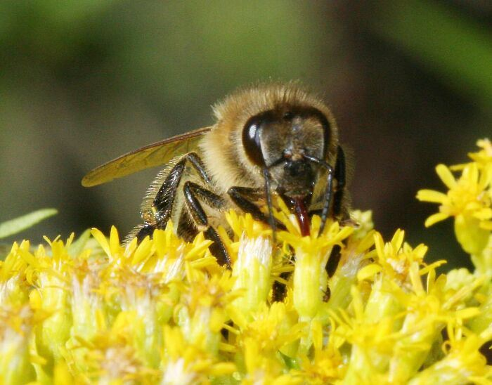 Безумный мед, употребление которого может привести к неожиданным результатам