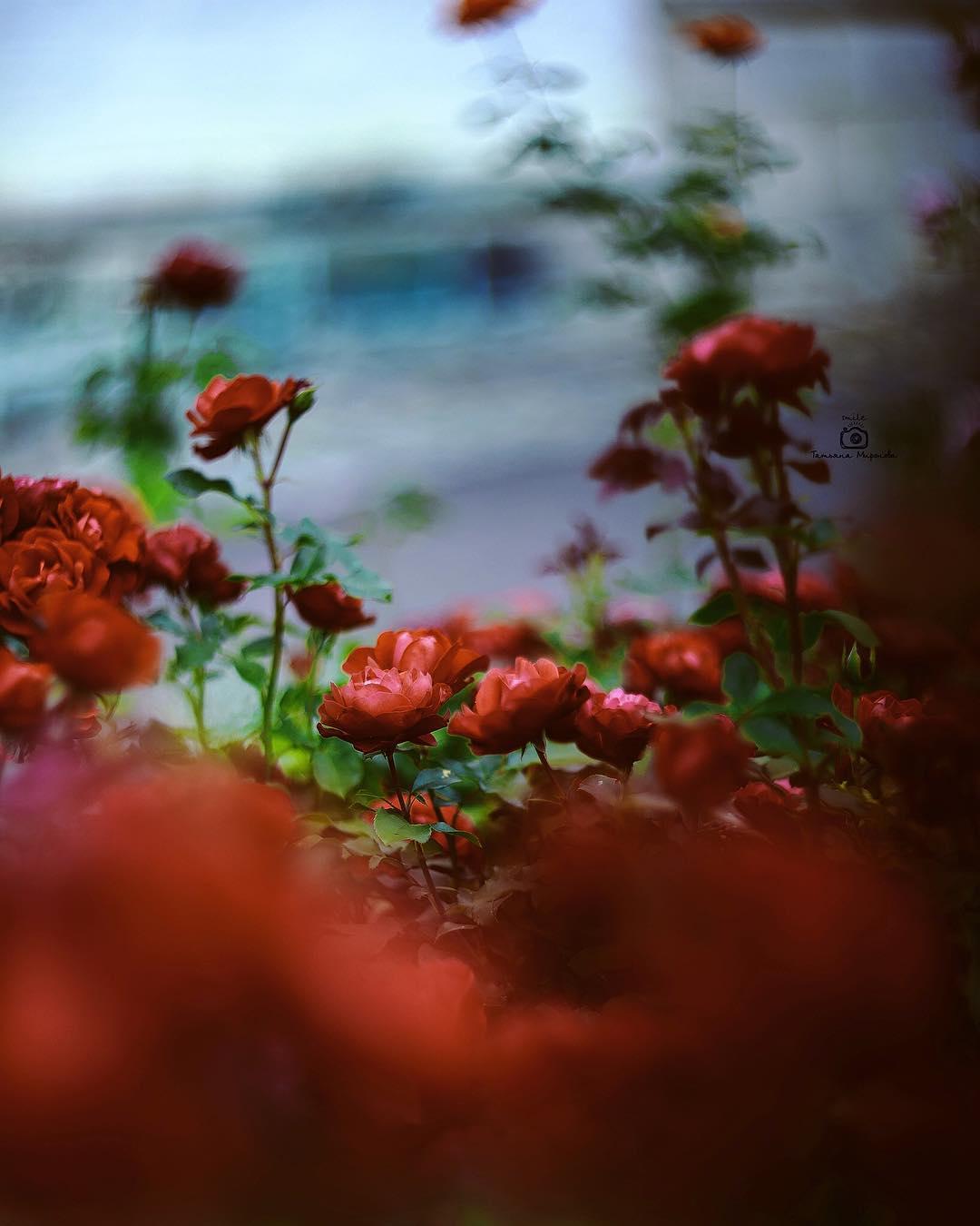 Красивые фотографии цветов от Татьяны Мироновой