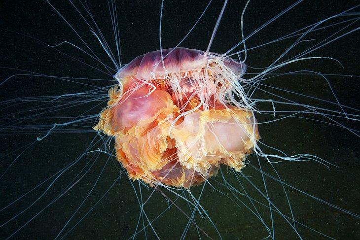 Жизнь медуз в объективе