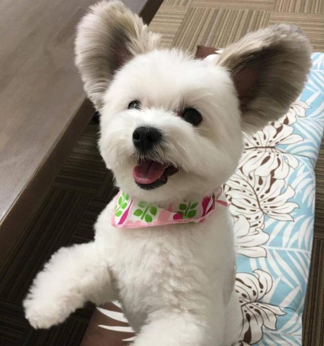 Песик Гома стал популярным благодаря своим большим ушам