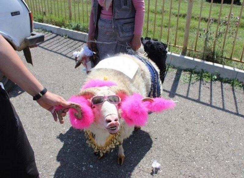 В Дагестане провели конкурс на самую красивую овцу