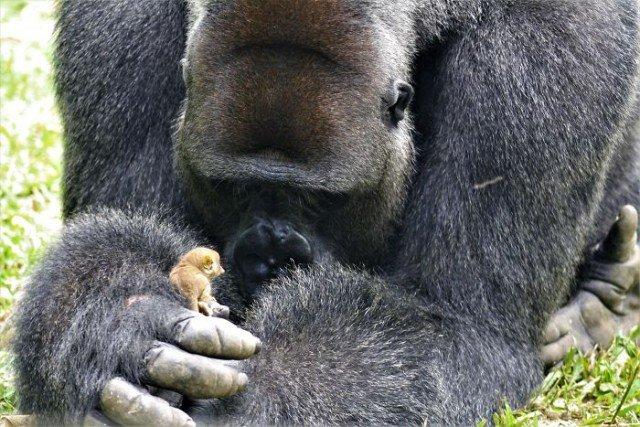 24-летняя горилла встретила крошечное существо в лесу