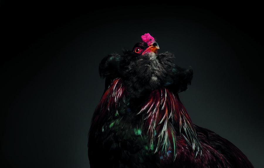 Красивейшие куры на планете в фотопроекте Chic!ken