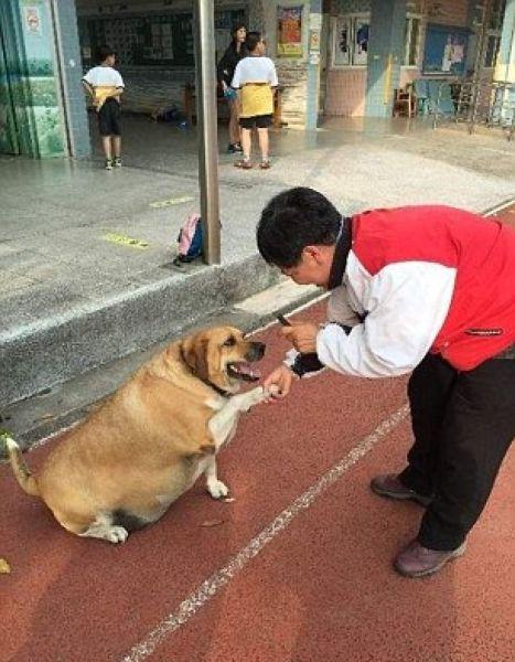 Пес-охранник растолстел на школьных харчах