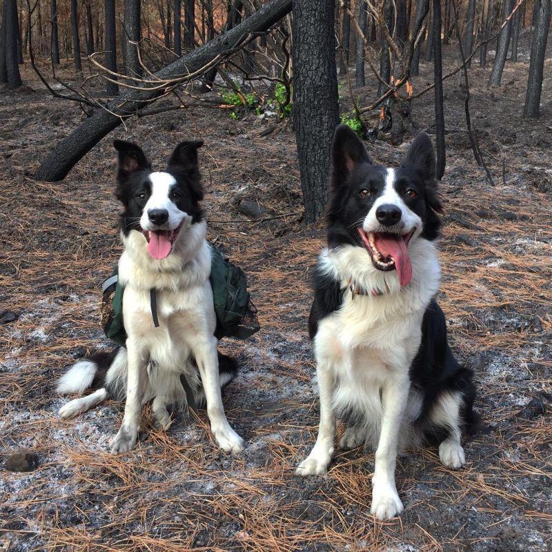 Три бордер-колли помогают возродить лес после пожаров