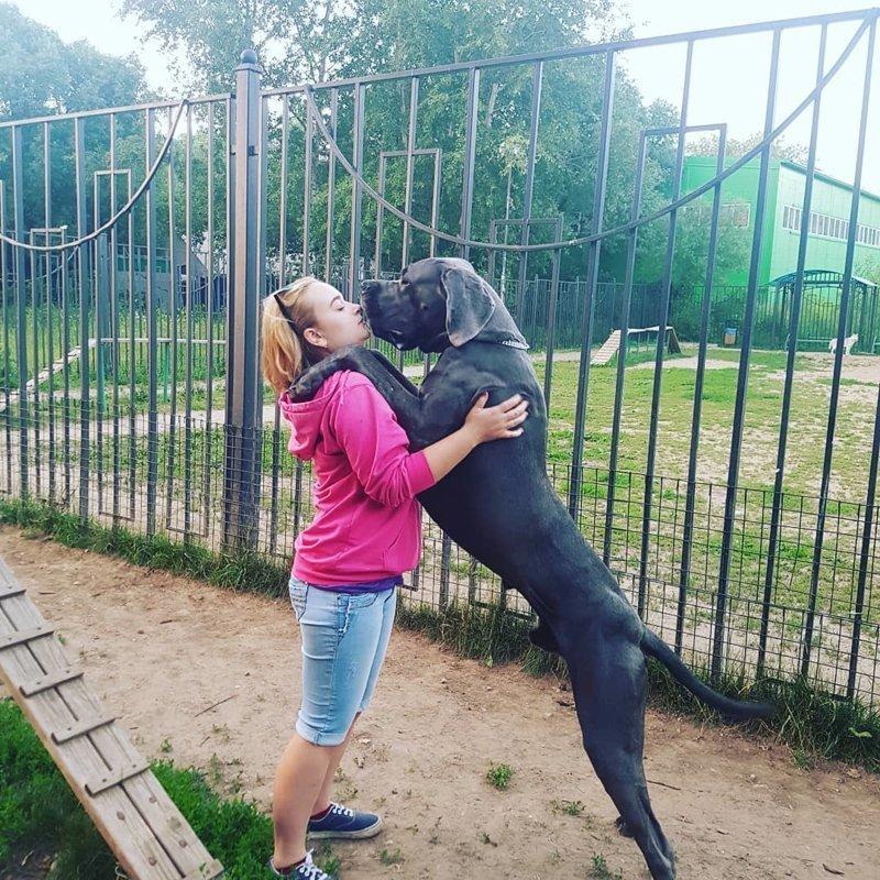 Немецкий дог - одна из самых больших пород собак в мире
