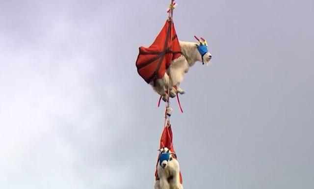 Транспортировка коз из национального парка при помощи вертолета