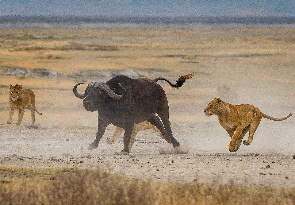 Львицы напали на буйвола, чтобы обучить своих малышей охотиться