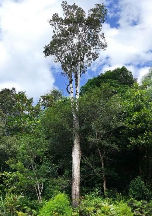 Поразительное дерево, которое источает металл