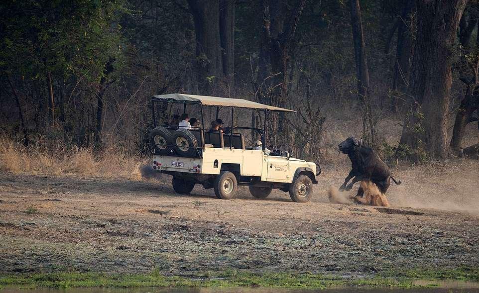 Злой буйвол напал на джип с туристами