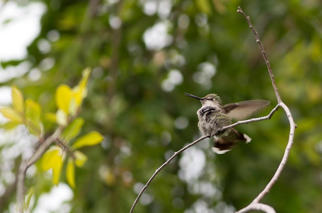 Хроника гнезда колибри длинною в 6 недель