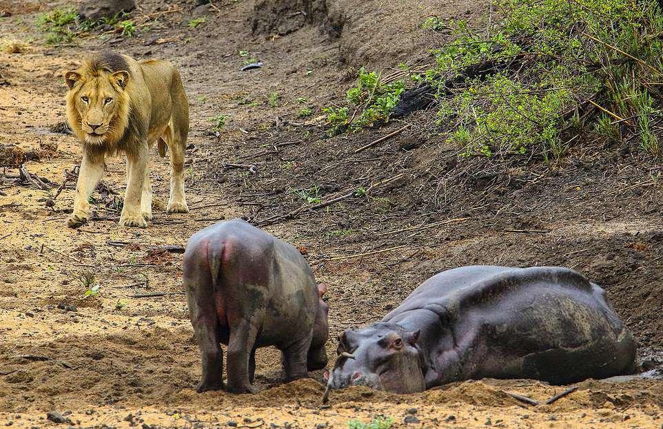 Бегемотик защищал маму от голодного льва, но это не помогло
