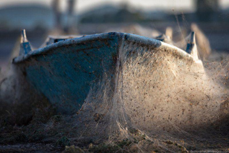 Спаривающиеся пауки затянули греческий остров паутиной